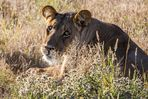 Kalahari - Löwen