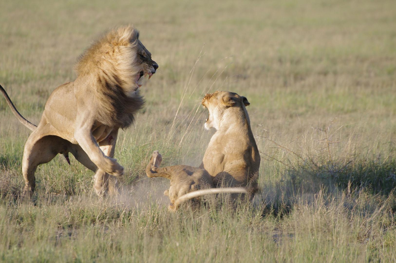Kalahari Löwen