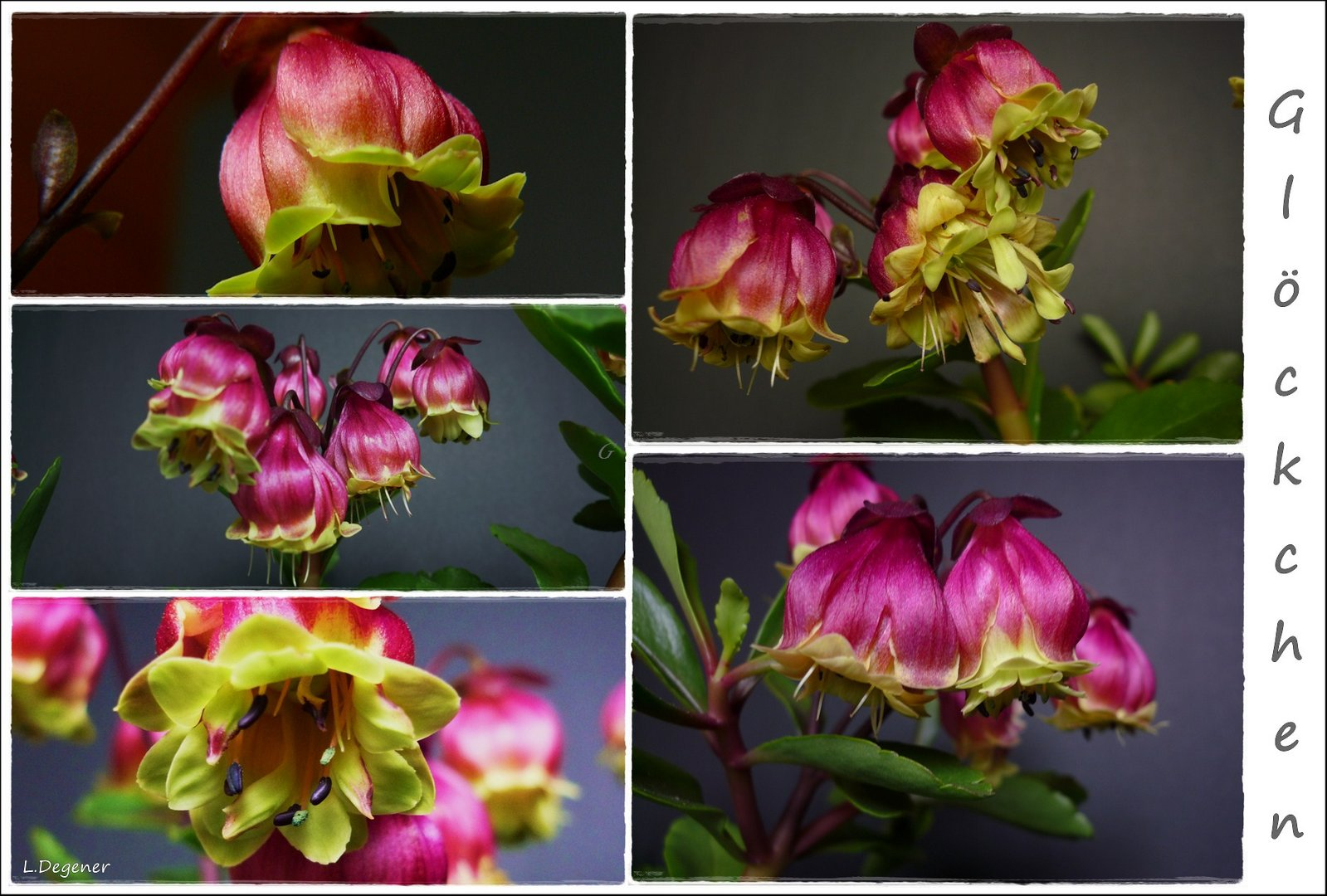 Kalanchoe - Pearl Bell