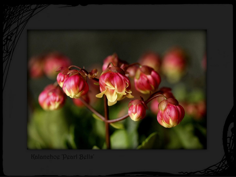 Kalanchoe 'Pearl Bells'