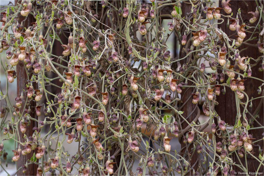 kalifornische pfeifenwinde aristochia californica foto bild pflanzen pilze flechten. Black Bedroom Furniture Sets. Home Design Ideas