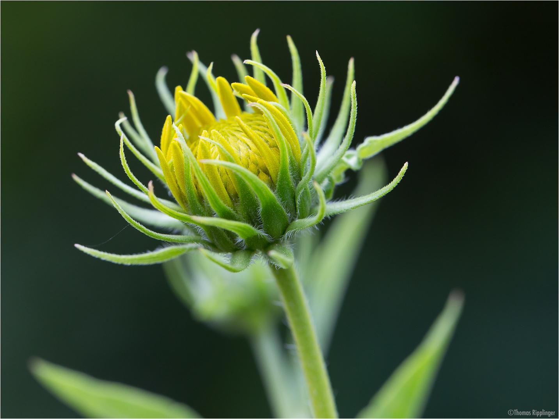 Kalifornische Sonnenblume (Helianthus californicus)......
