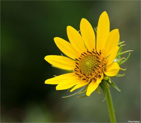 Kalifornische Sonnenblume (Helianthus californicus).