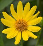 Kalifornische Sonnenblume (Helianthus californicus)...