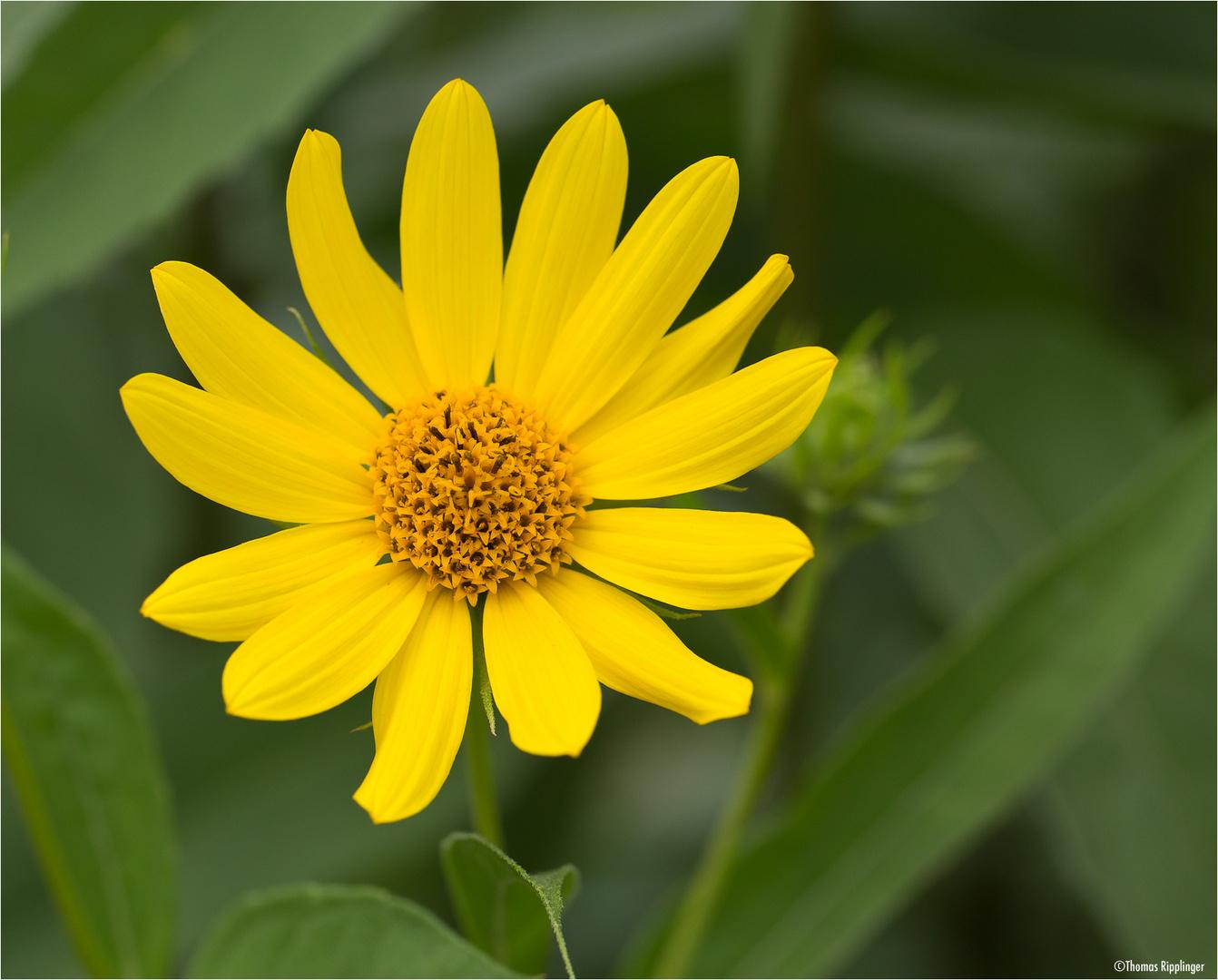 Kalifornische Sonnenblume (Helianthus californicus)..