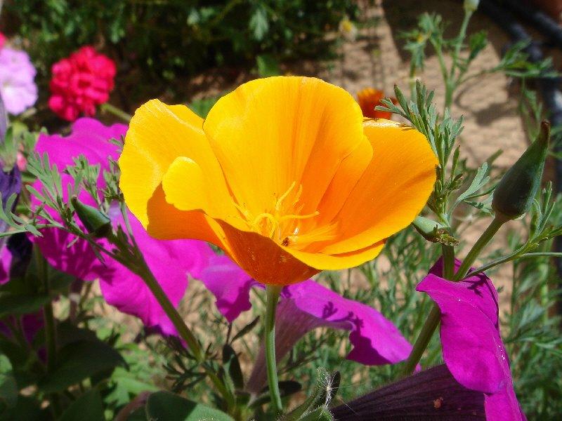 Kalifornischer Kappenmohn - Algarve