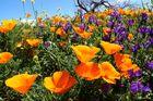 Kalifornischer Kappenmohn - gesehen auf Teneriffa