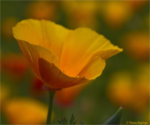 Kalifornischer Mohn (Eschscholzia californica)