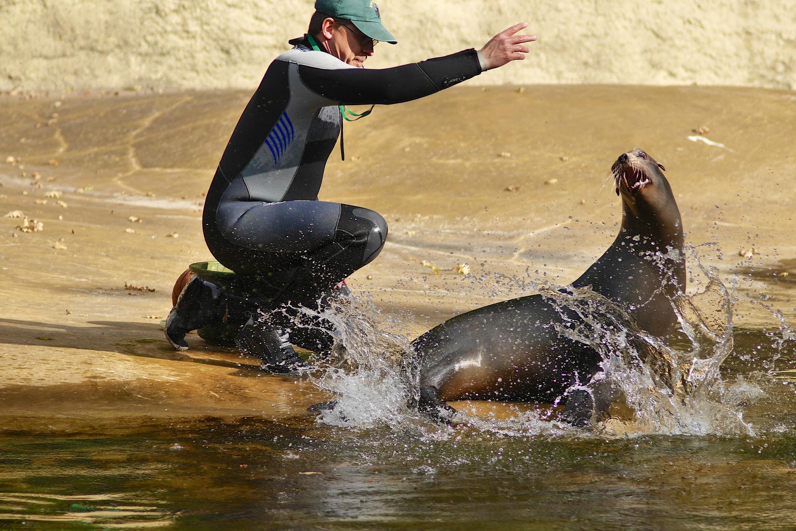 Kalifornischer Seehund