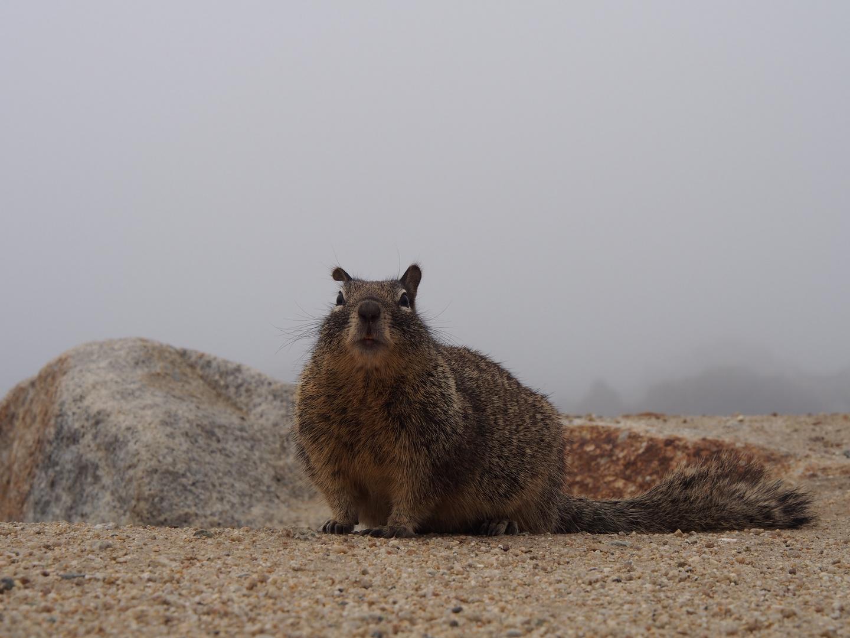 kalifornisches Eichhörnchen