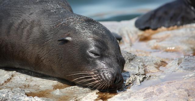 Kalifornisches Seelöwen - Baby schlafend