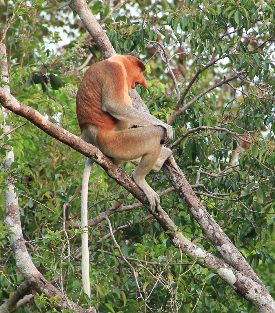 Kalimantan - männlicher Langnasenaffe