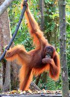 Kalimantan - Orang Utan im Tanjung National Park