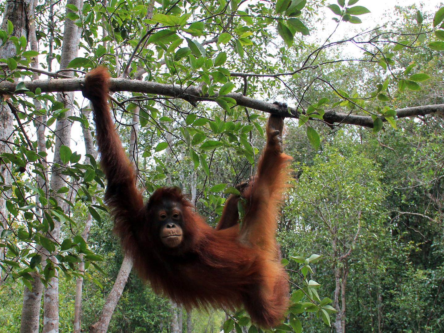 Kalimantan - Orang Utan Model