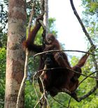 Kalimantan - Orang Utans im Camp Leakey