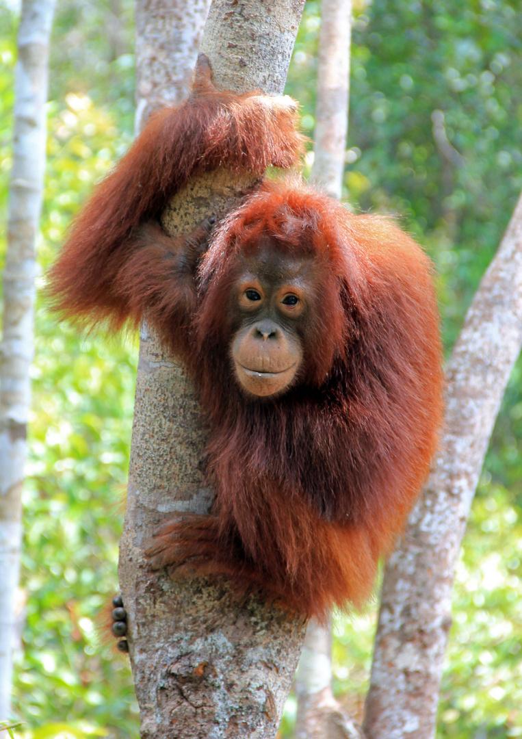 Kalimantan - und noch ein Orang Utan