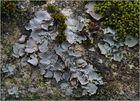 Kalk-Nabelflechte (Dematocarpon miniatum)