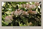 Kalmia latifolia ( Berglorbeer / Lorbeerrose )
