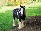 Kaltblüterpferd (Tinker) auf der Weide