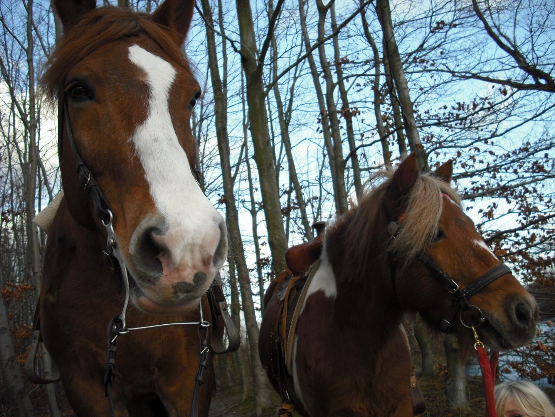 Kaltblut Max und Shetty Fraya - Beste Freunde ;)