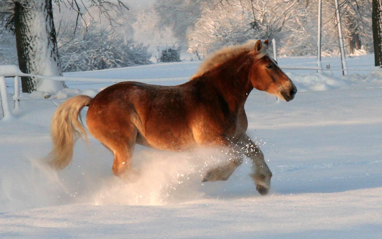 Kaltblutpower im Schnee
