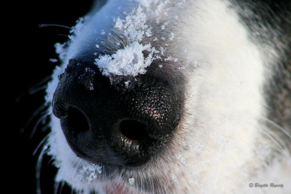 Kalte Nase