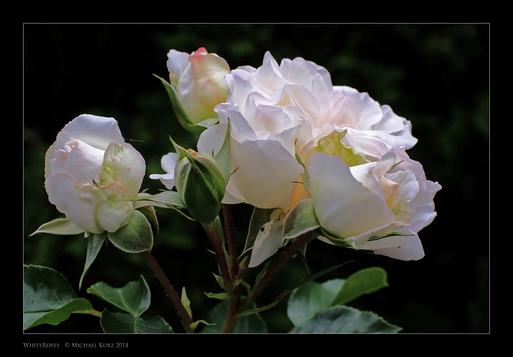 Kalte Rose