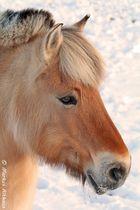 Kaltes Pferde Poträt (Norweger)