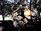 Kaltrosa Kirschfrostlicht