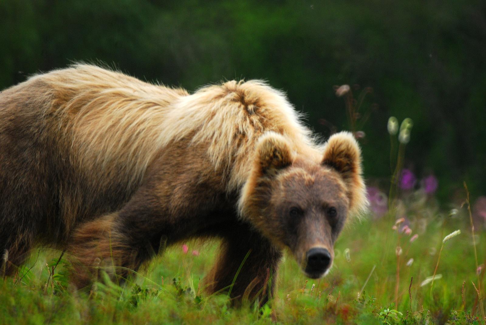 kamchatka russian bear