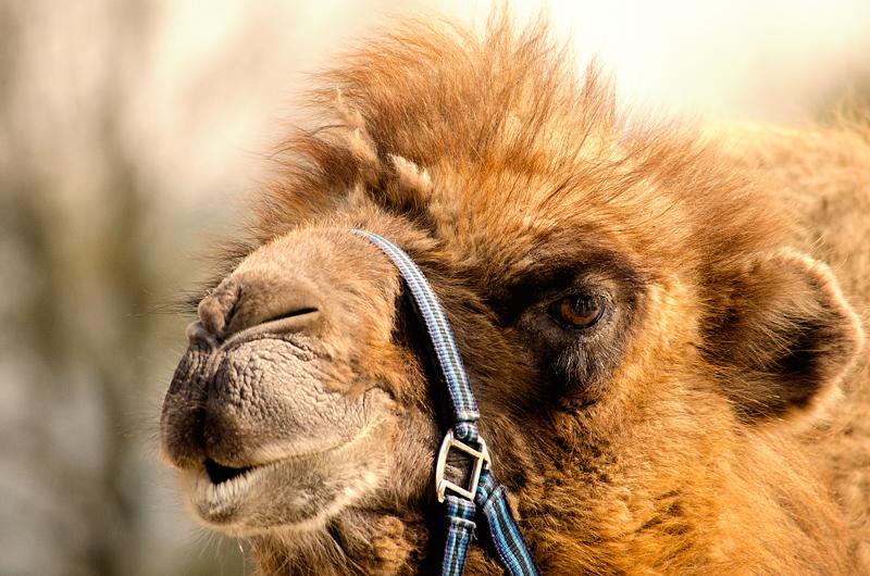 Kamel........