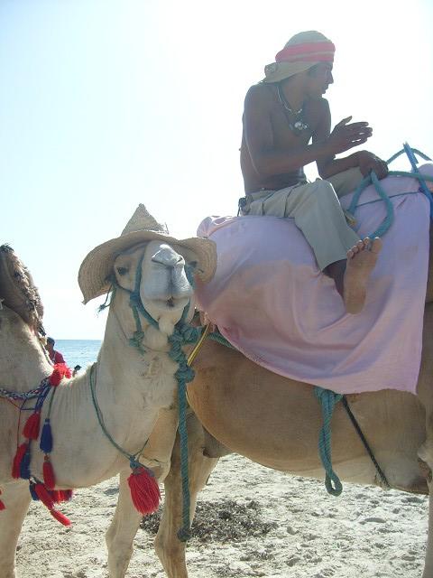 Kamel auf Djerba