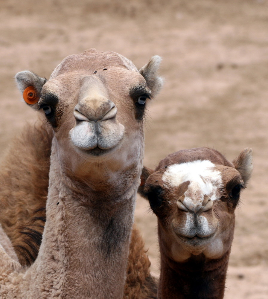 Kamel auf Fuerteventura