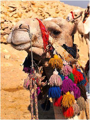 Kamel im Abend-Outfit
