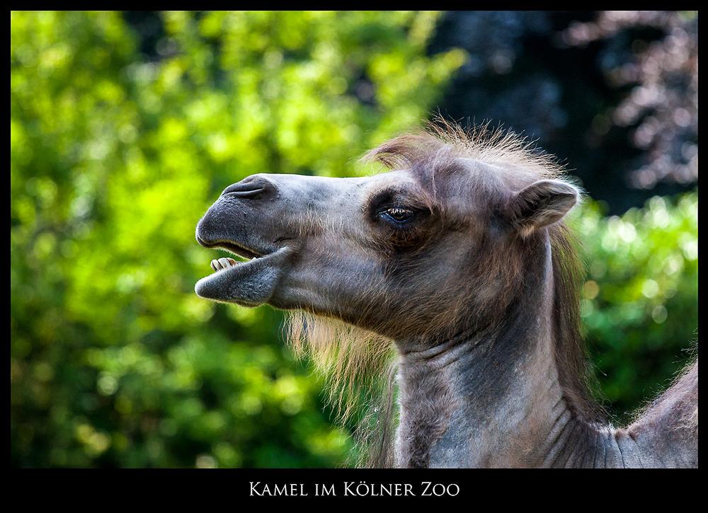Kamel im Kölner Zoo