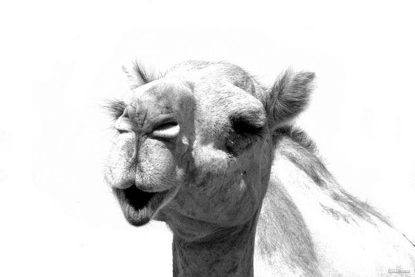 Kamel in UAE 2007
