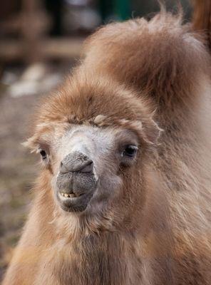 Kamel-Portrait