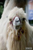 Kamel - Zoo Heidelberg