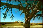Kameldornbaum in der Namib