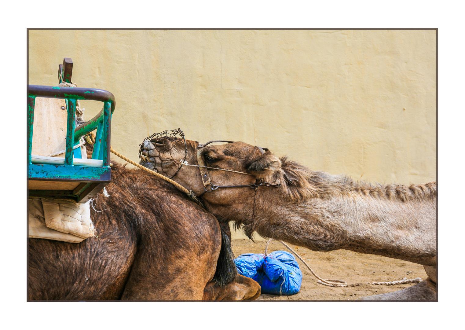 Kamele auf Cran Canaria