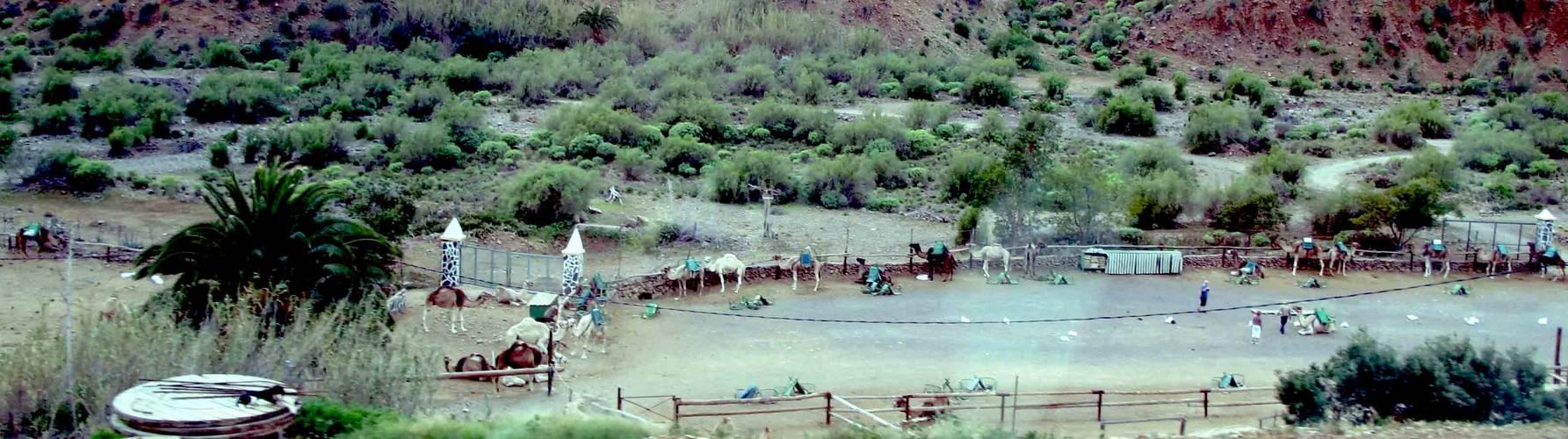 Kamele auf Gran Canaria.