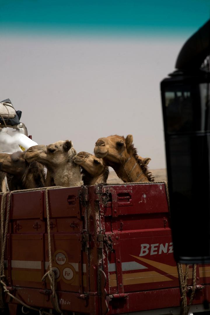 Kamele aus dem Sudan