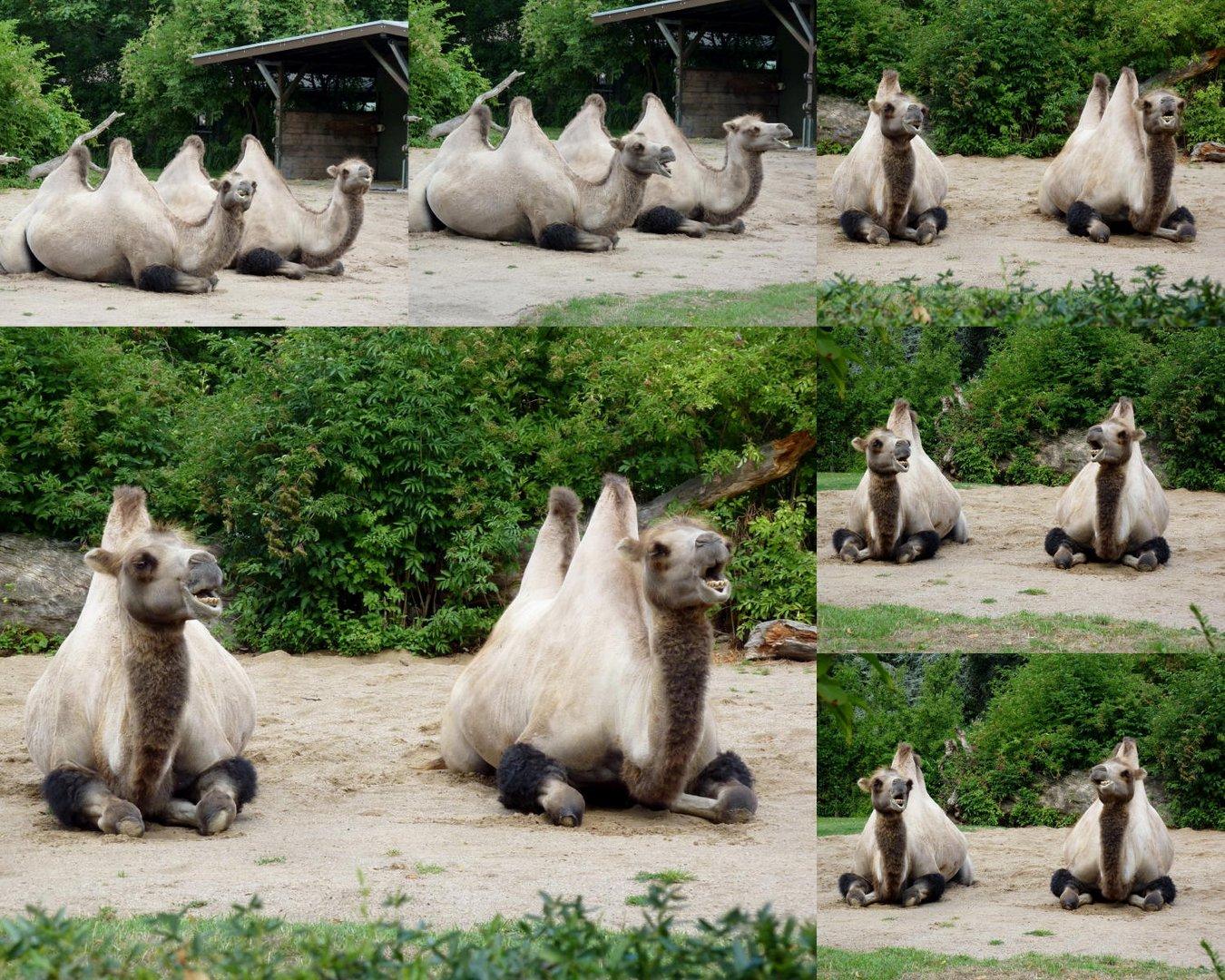 Kamele im Kölner Zoo