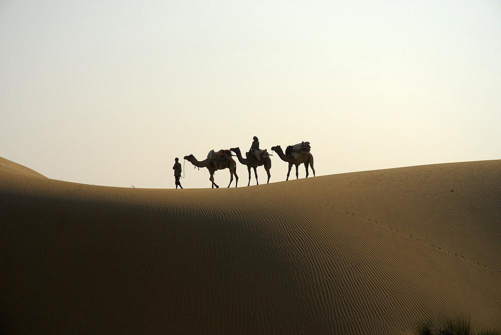 Kamele in der Thar