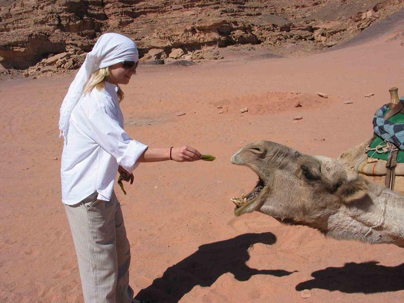 Kamelfütterung