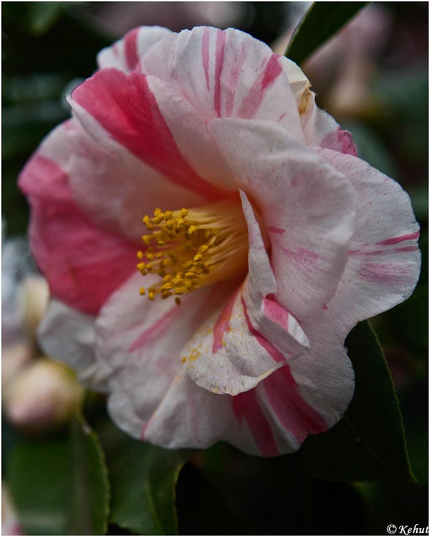 Kamelienblüte 1