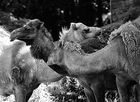 Kamelköpfe
