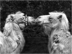 Kamelkuss