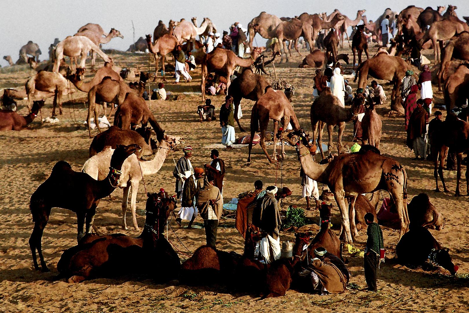 Kamelmarkt am frühen Morgen