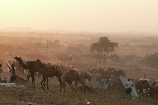 Kamelmarkt in Pushkr